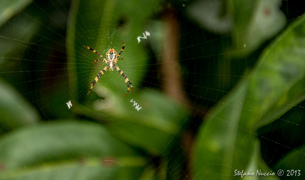Spiderman by Stefano Nuccio