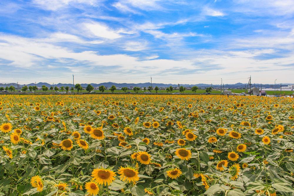 Sunflower by Ryusuke Komori