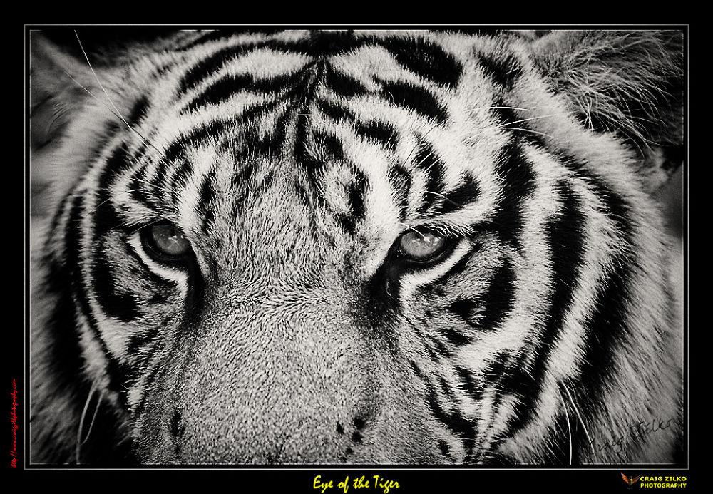 Tiger Eyes by Craig Zilko