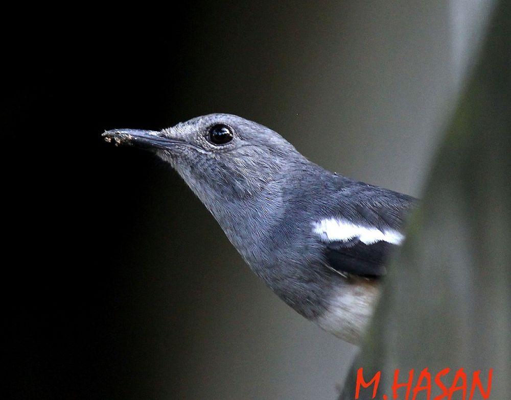 Magpi robin by Md.Mahedi Hasan