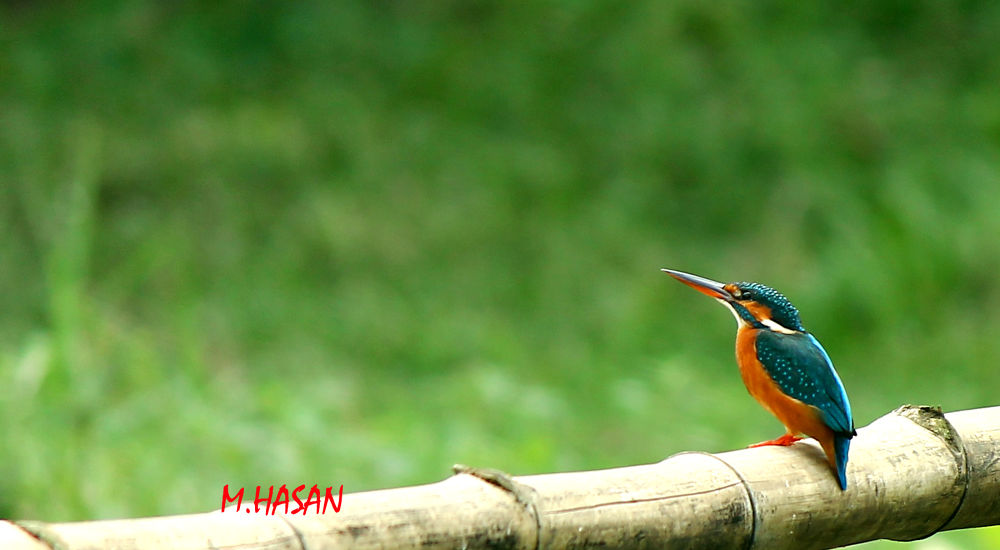 ID-Common kingfisher by Md.Mahedi Hasan