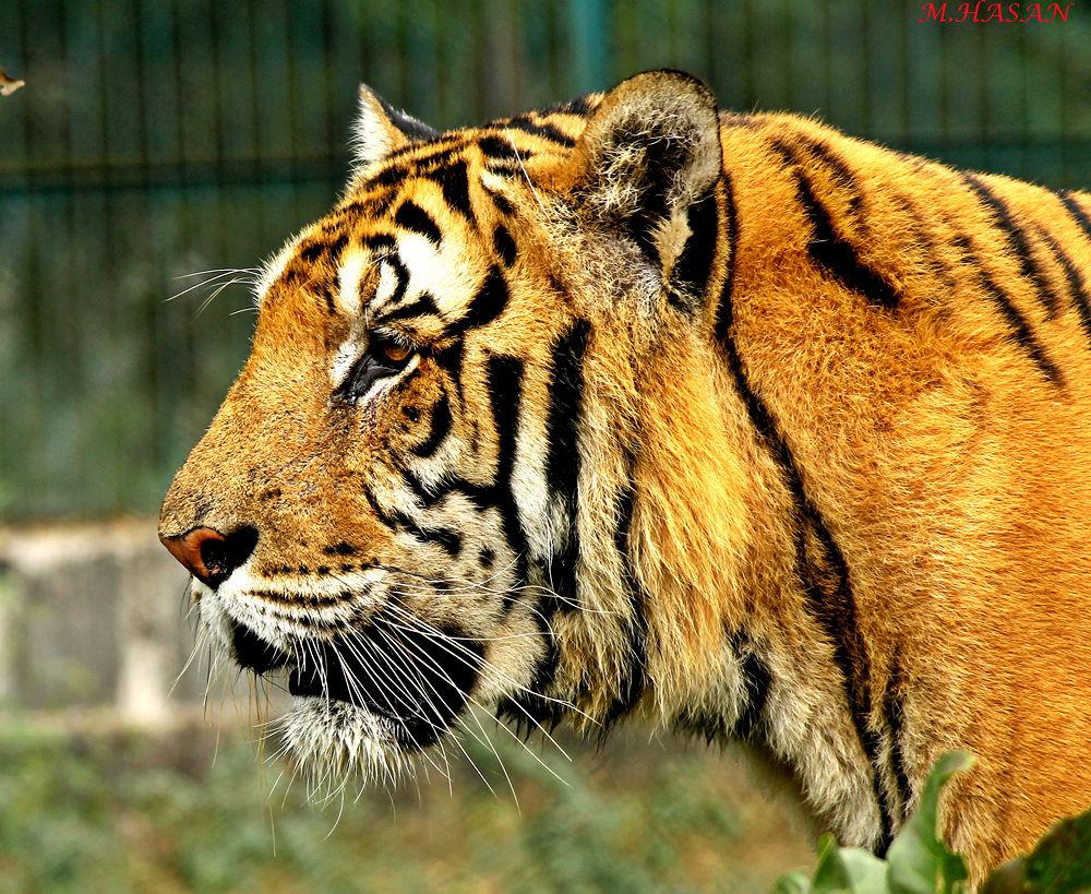 Tiger by Md.Mahedi Hasan