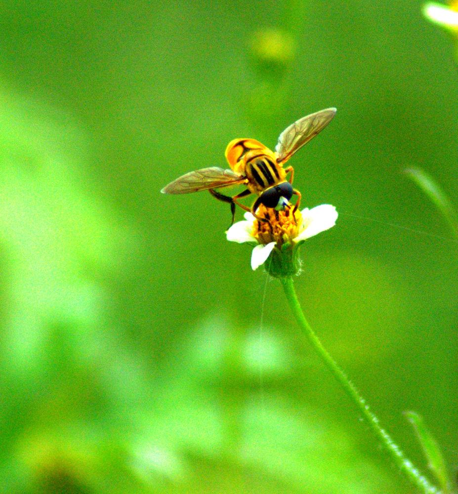 Bee by Nagendra Bhat