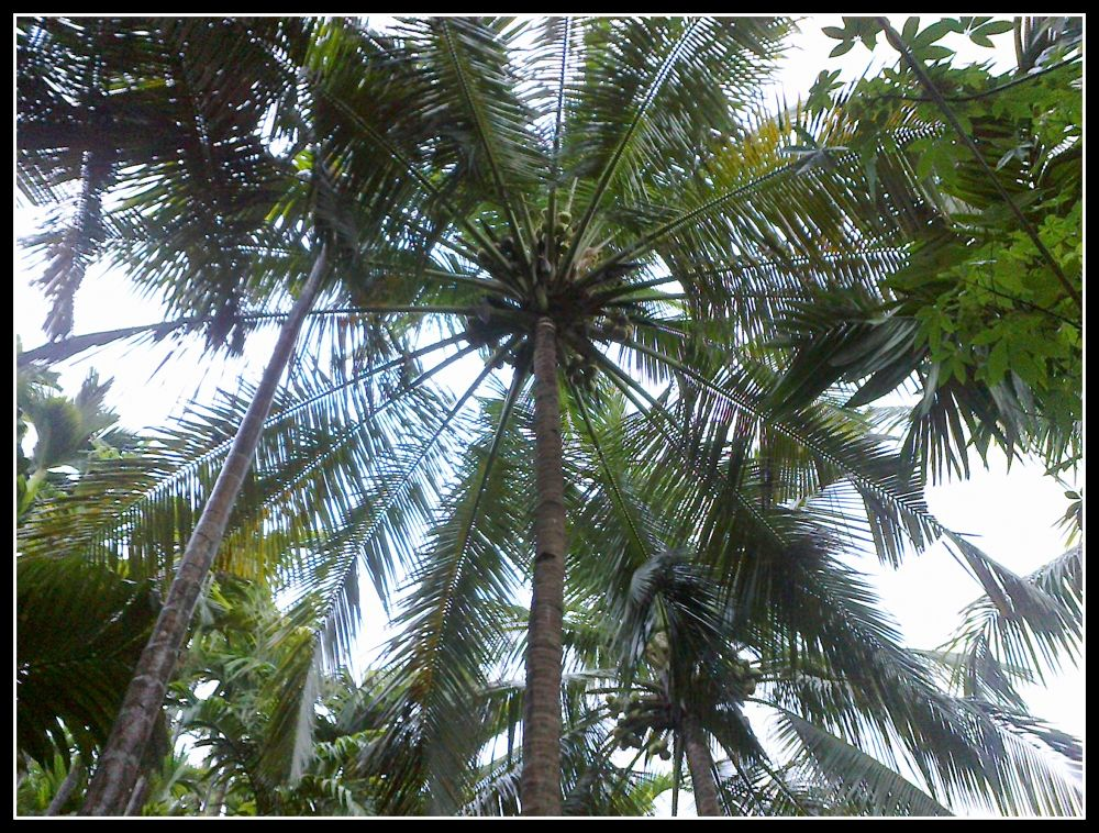 Coconut Tree by Nagendra Bhat