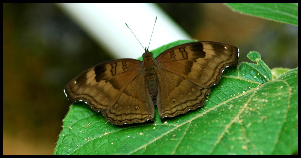 Chocolate Pansy by Nagendra Bhat