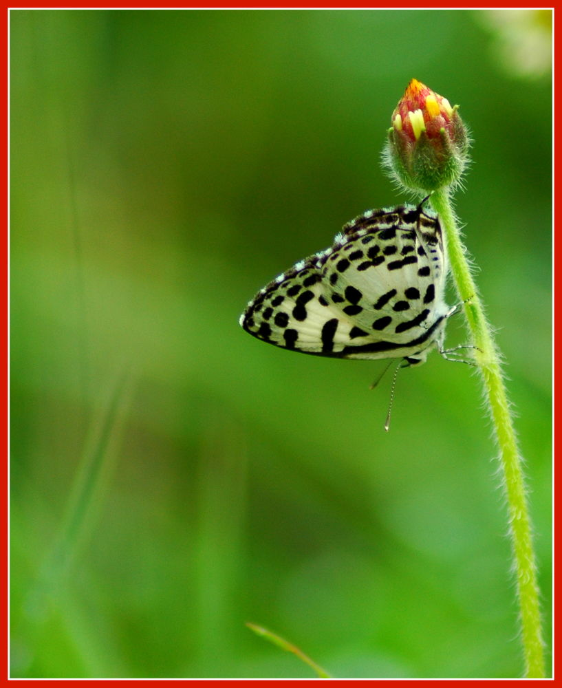 Common Pierrot 2 by Nagendra Bhat