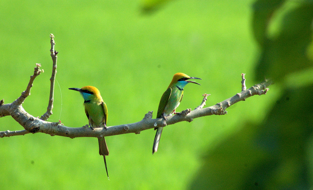 Green Bee Eaters by Nagendra Bhat
