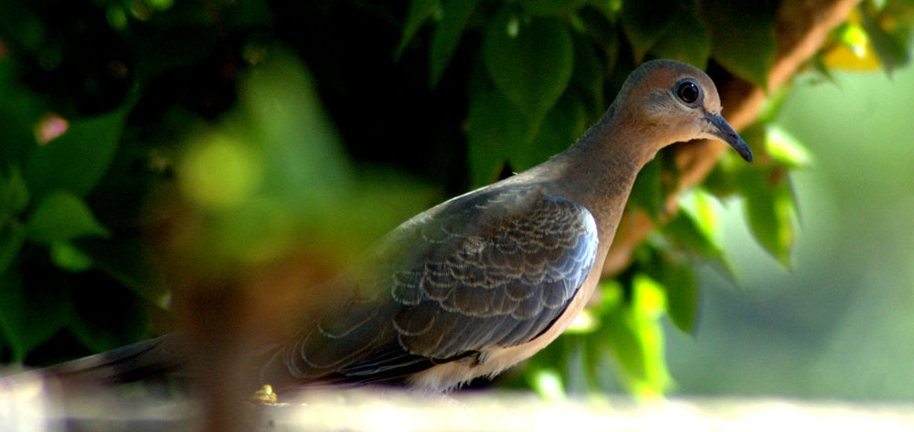 Laughing dove by Nagendra Bhat