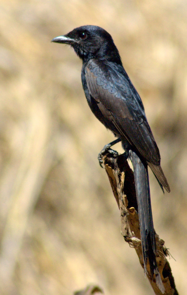 Drongo by Nagendra Bhat