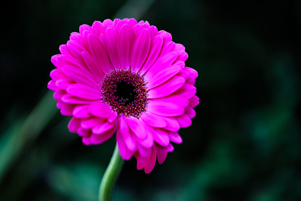 Photo in Nature #gerbera #flowers
