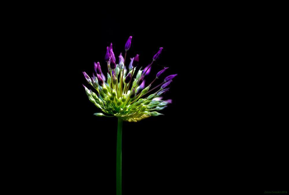 Allium by Zinovi Seniak