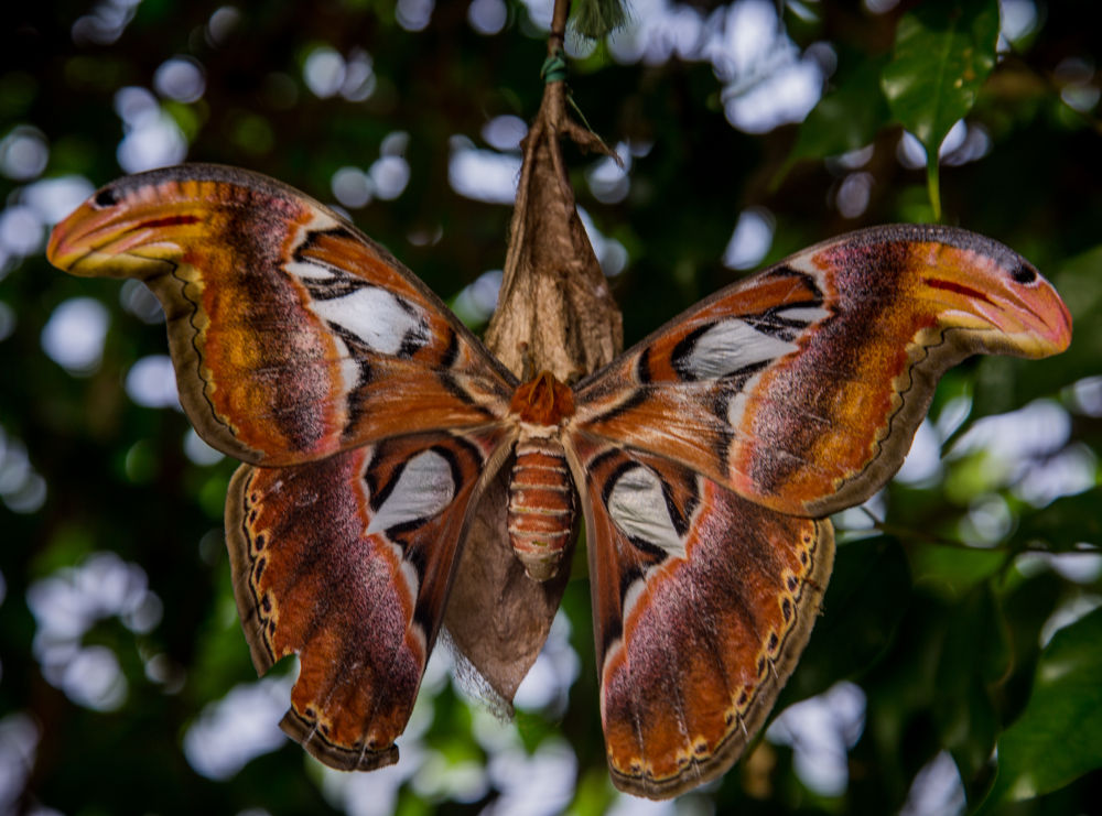 moth attacus atlas by rebecca willsone