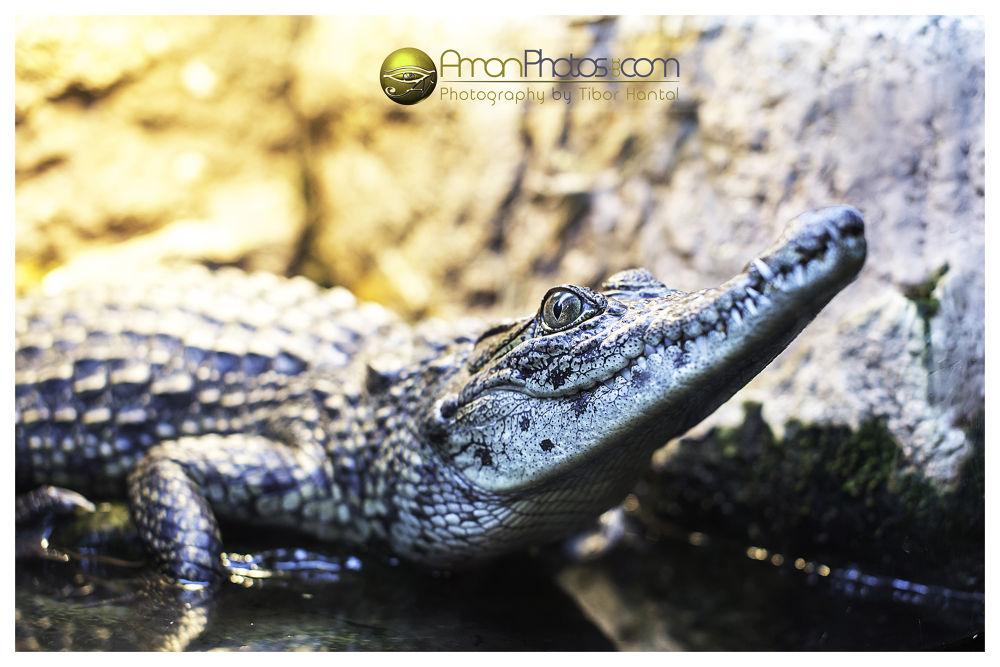 Crocodile by AmanPhotos
