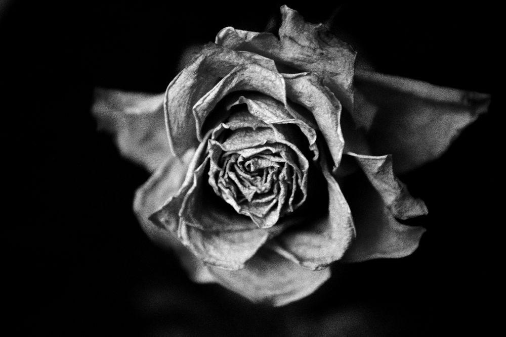 Rose by jenhphotography