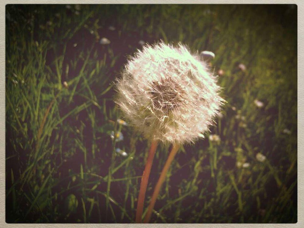 dandelion by jenhphotography