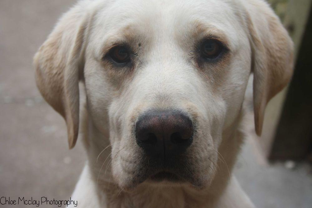 Bud the Labrador  by ChloeMcclay2