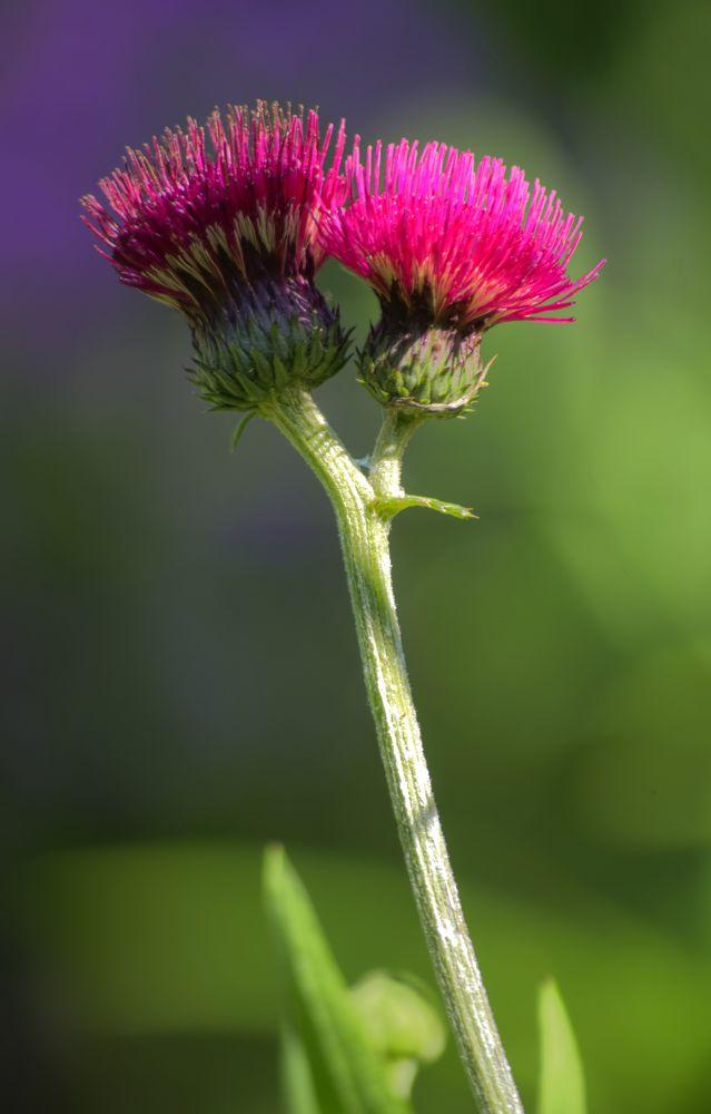 Pink Thistle by Helen Goldman