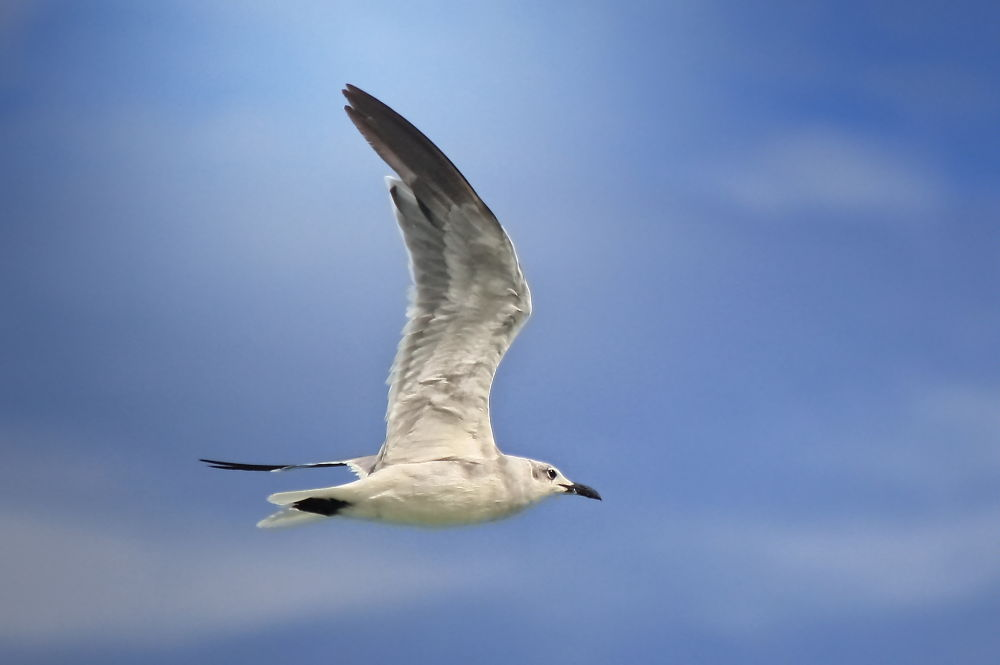Gull in Flight by Jorge Coromina