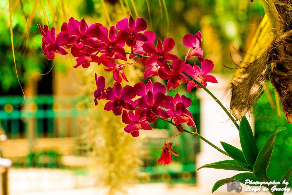 Thai Orchid by Lloyd de Gruchy