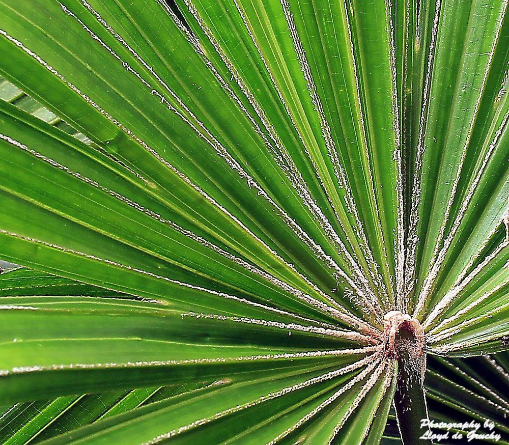 Fan Palm by Lloyd de Gruchy