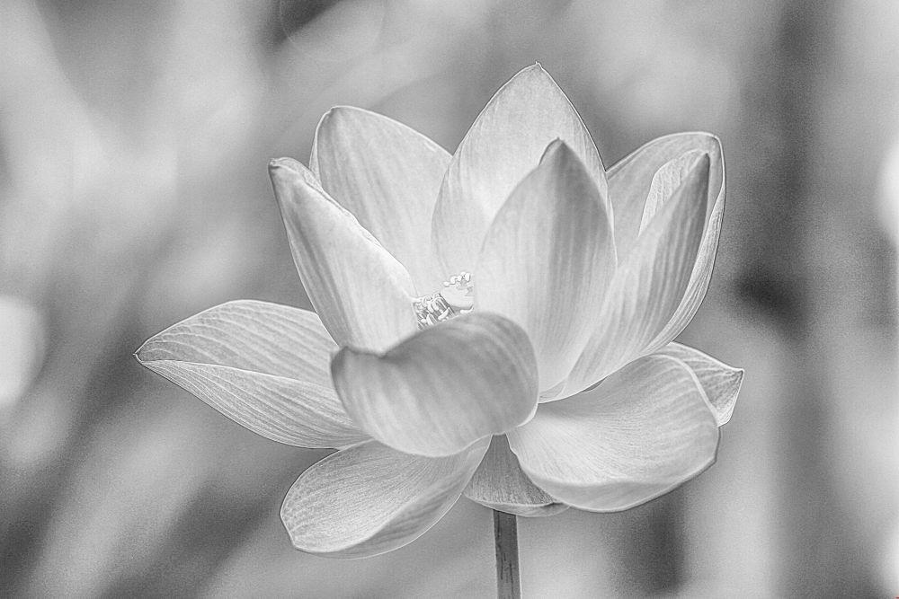 Black & White Water Lily by Lloyd de Gruchy