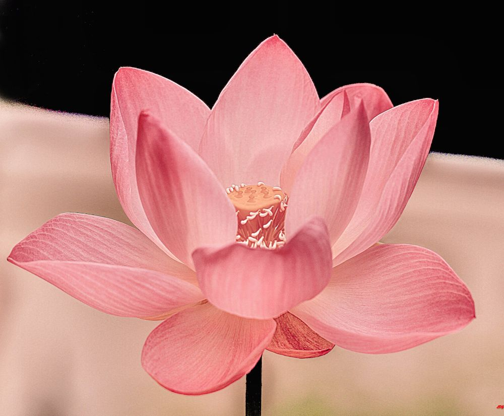 The Perfect Water Lily by Lloyd de Gruchy