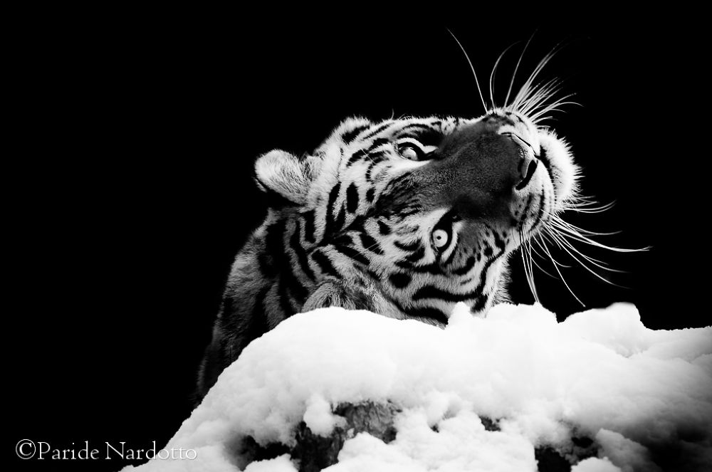 B&W fine art - Amur Tiger by © Paride Nardotto by Paride Nardotto