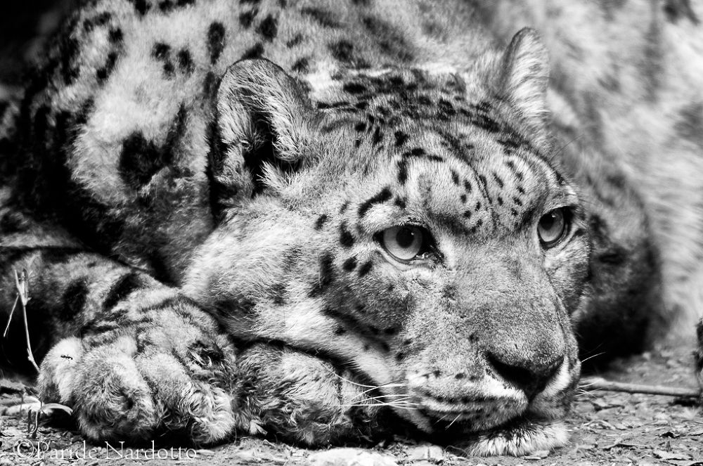 Snow Leopard fine art - © Paride Nardotto by Paride Nardotto