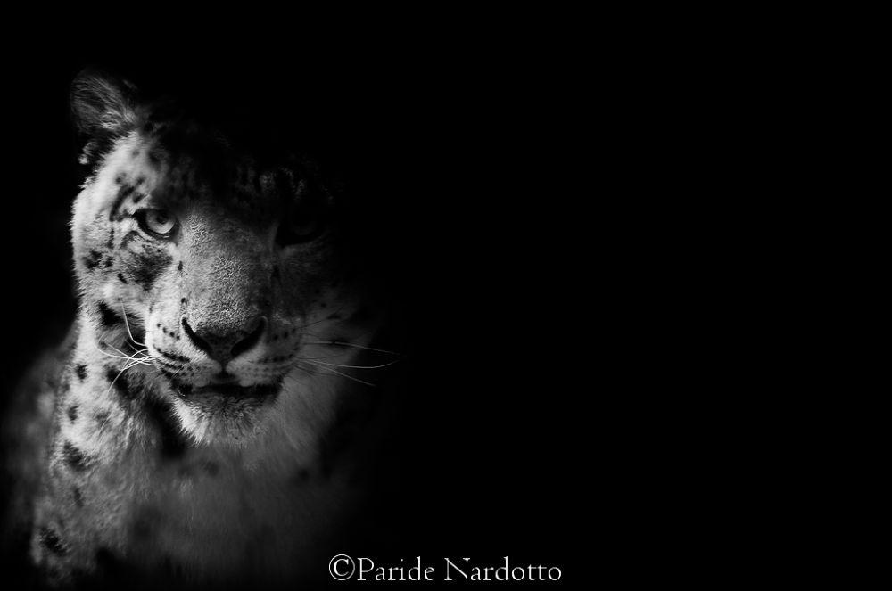 Snow Leopard fine art - © Paride Nardotto by Paride Nardotto