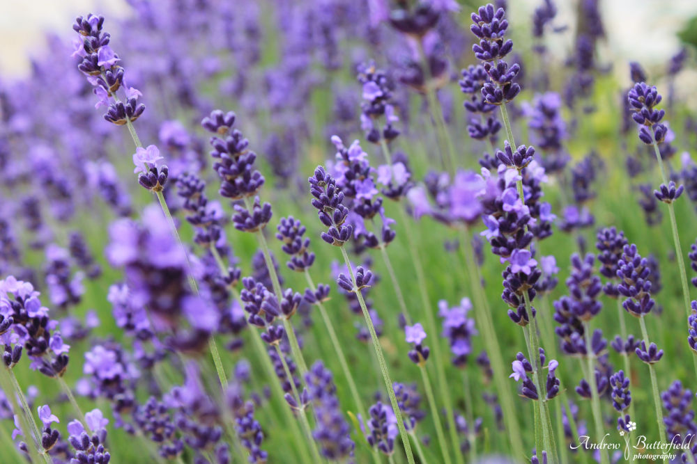 Lavender  by andrewbutterfield