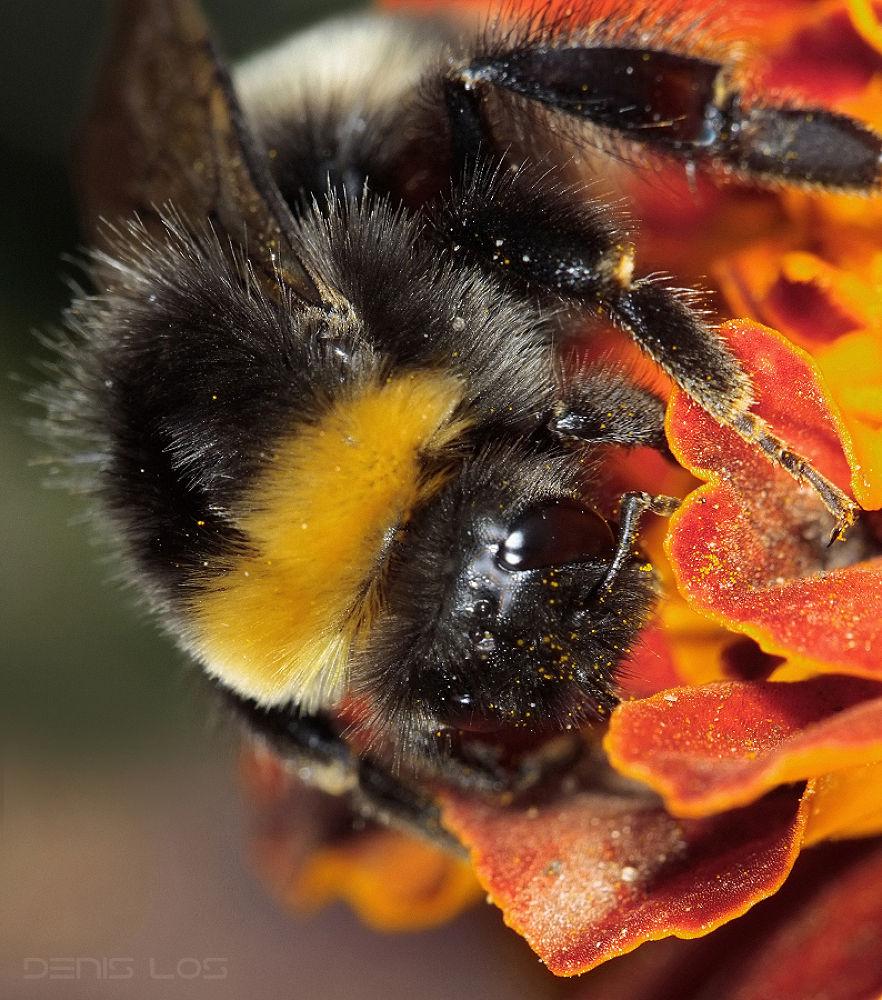 Bumblebee by Denis Los