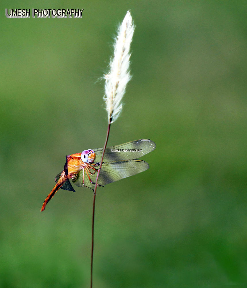 A Dragon fly hanging on the straw by umesh pun