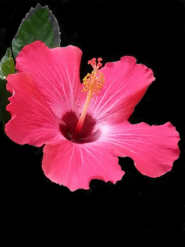 Hibiscus  by LANA