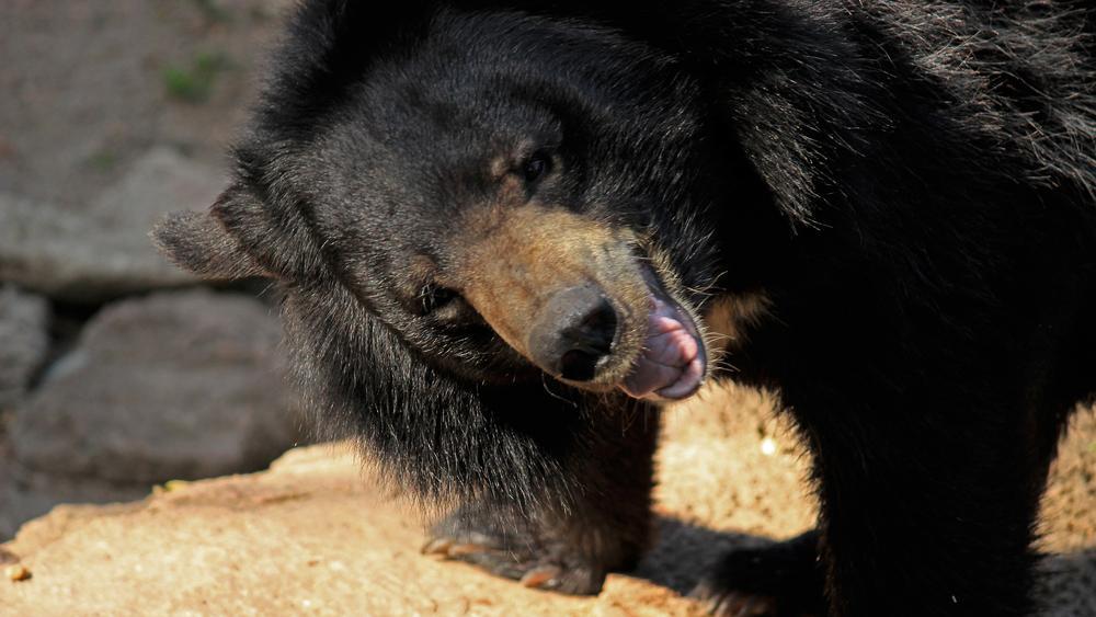 Angry Bear by Karthik Easvur