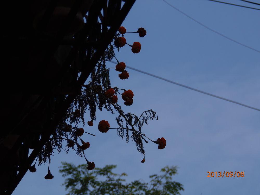 marigold flowers... by Anushka G