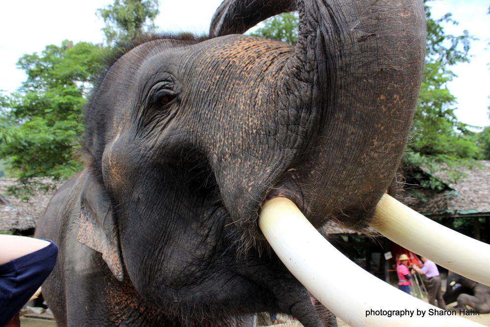 Gentle Chang ~ Elephant by #LuvToTravelWorld
