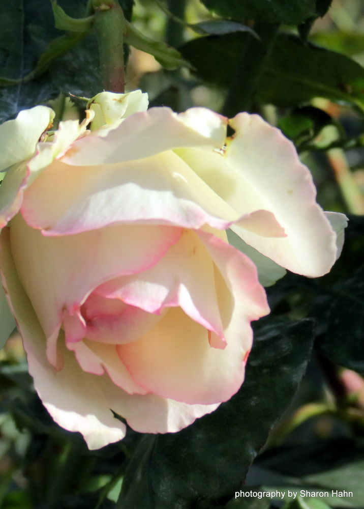 From Josephine ~ Hybrid Tea by #LuvToTravelWorld