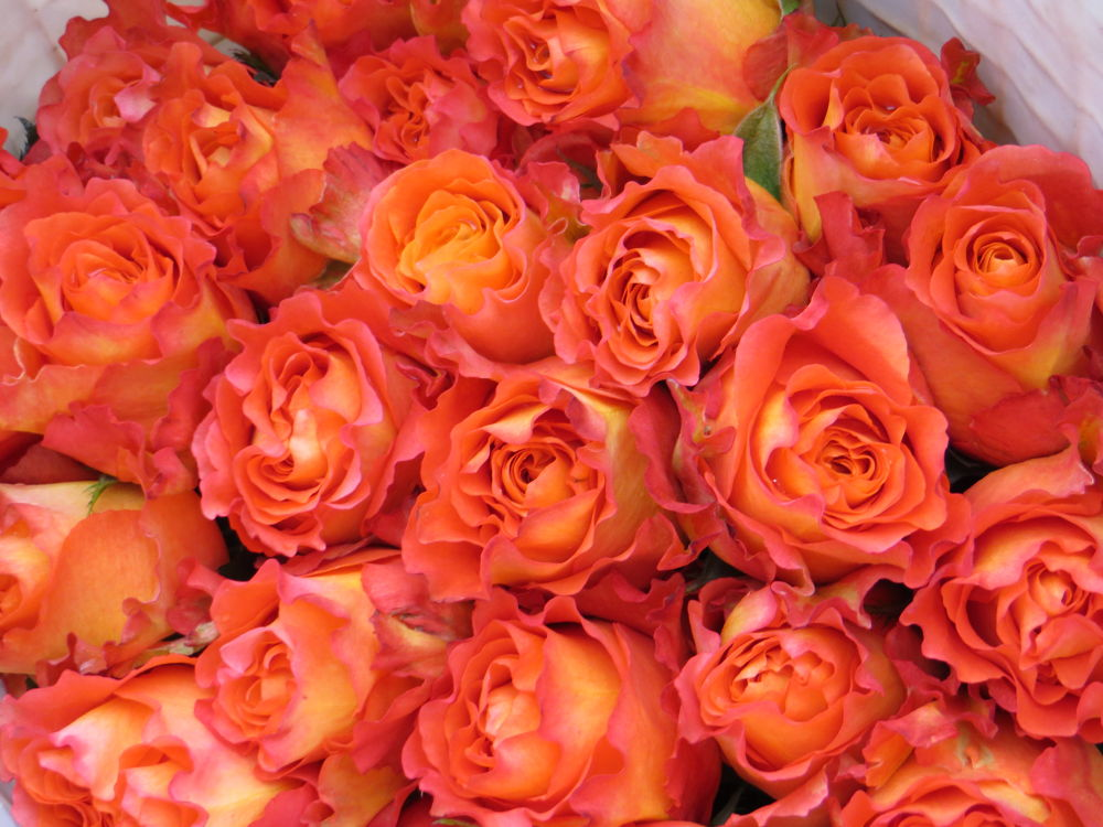 Did you know Ecuador grows the majority of the World's roses??  They do. by #LuvToTravelWorld