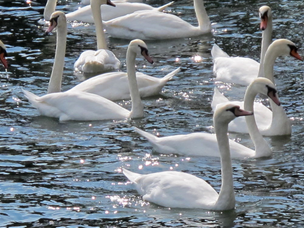 Swans Glistening in the Sun by #LuvToTravelWorld