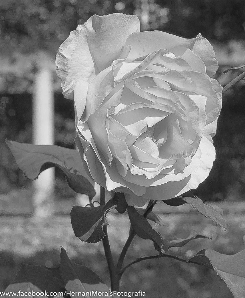 A rose can be black by hernanimorais5