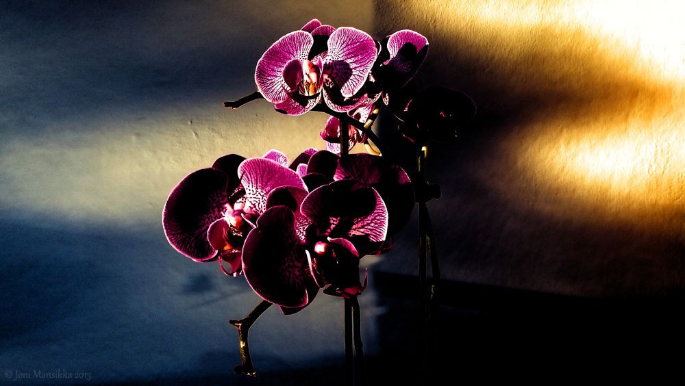 Shades of Fall - Phalaenopsis Ambiance  e1f1812jm2 by Joni Mansikka