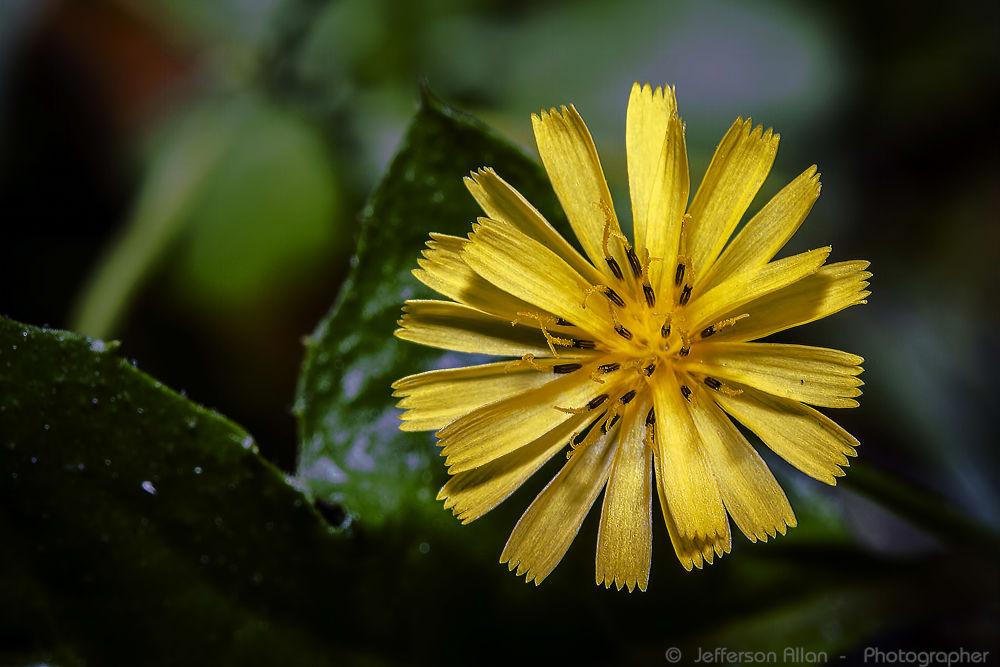 Flor - Macro by jeffersonallancps