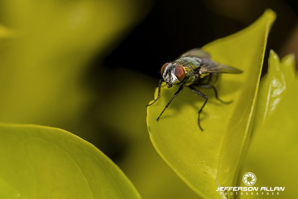 Mosca varejeira by jeffersonallancps
