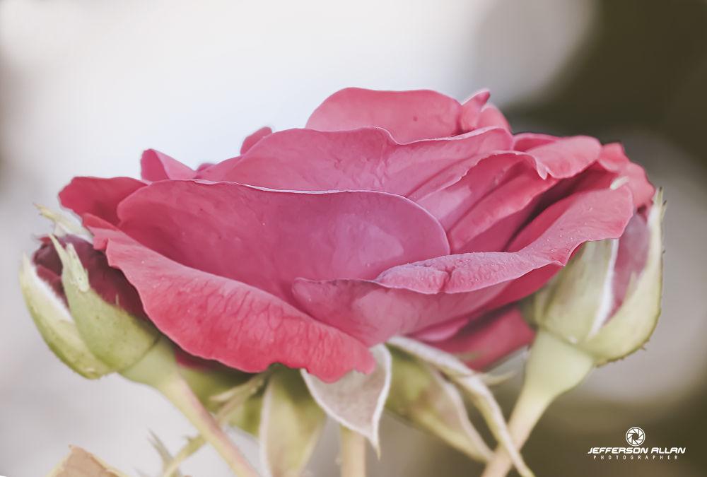Rosa by jeffersonallancps