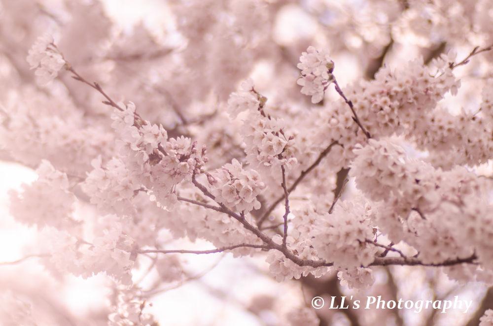 Cherry Blossom by Leonard Loh