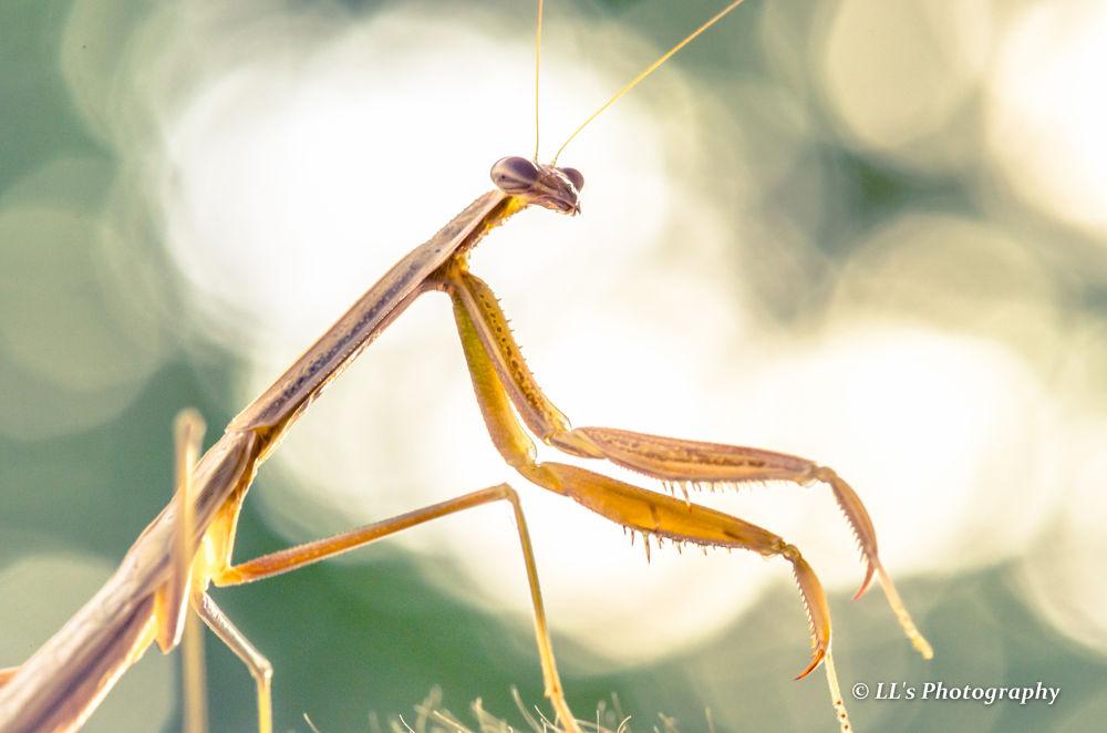 Praying Mantis by Leonard Loh