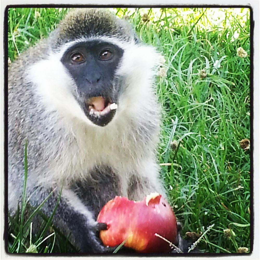 Green Monkey / Awassa by Mats H. Andersson
