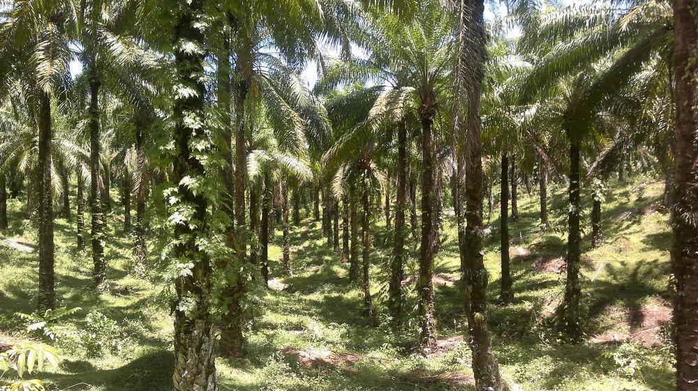 The Palm Plantation at Hutbay. by Shabaan Fazil