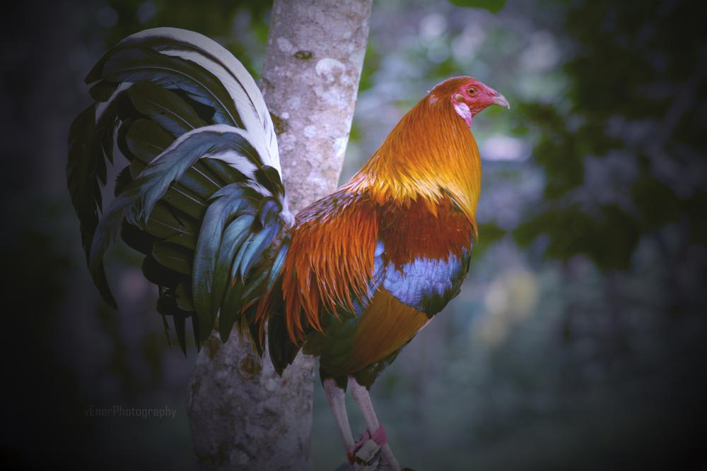 Fowl_Rooster by lolo1959