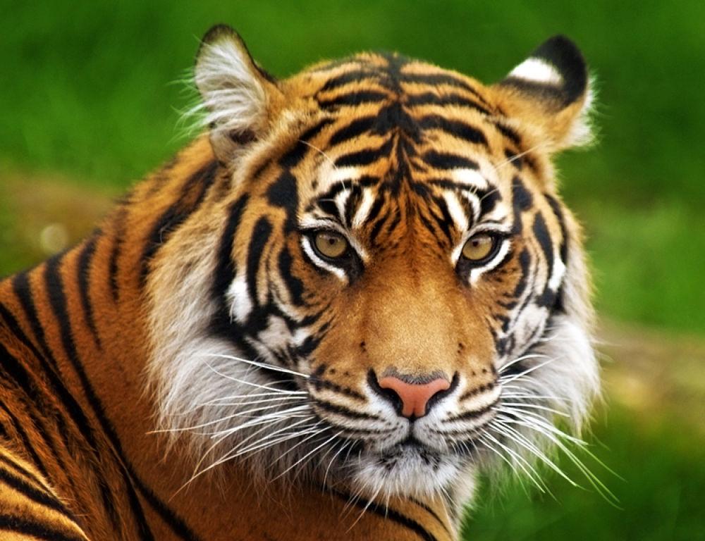 Sumatran Tiger by bsharts